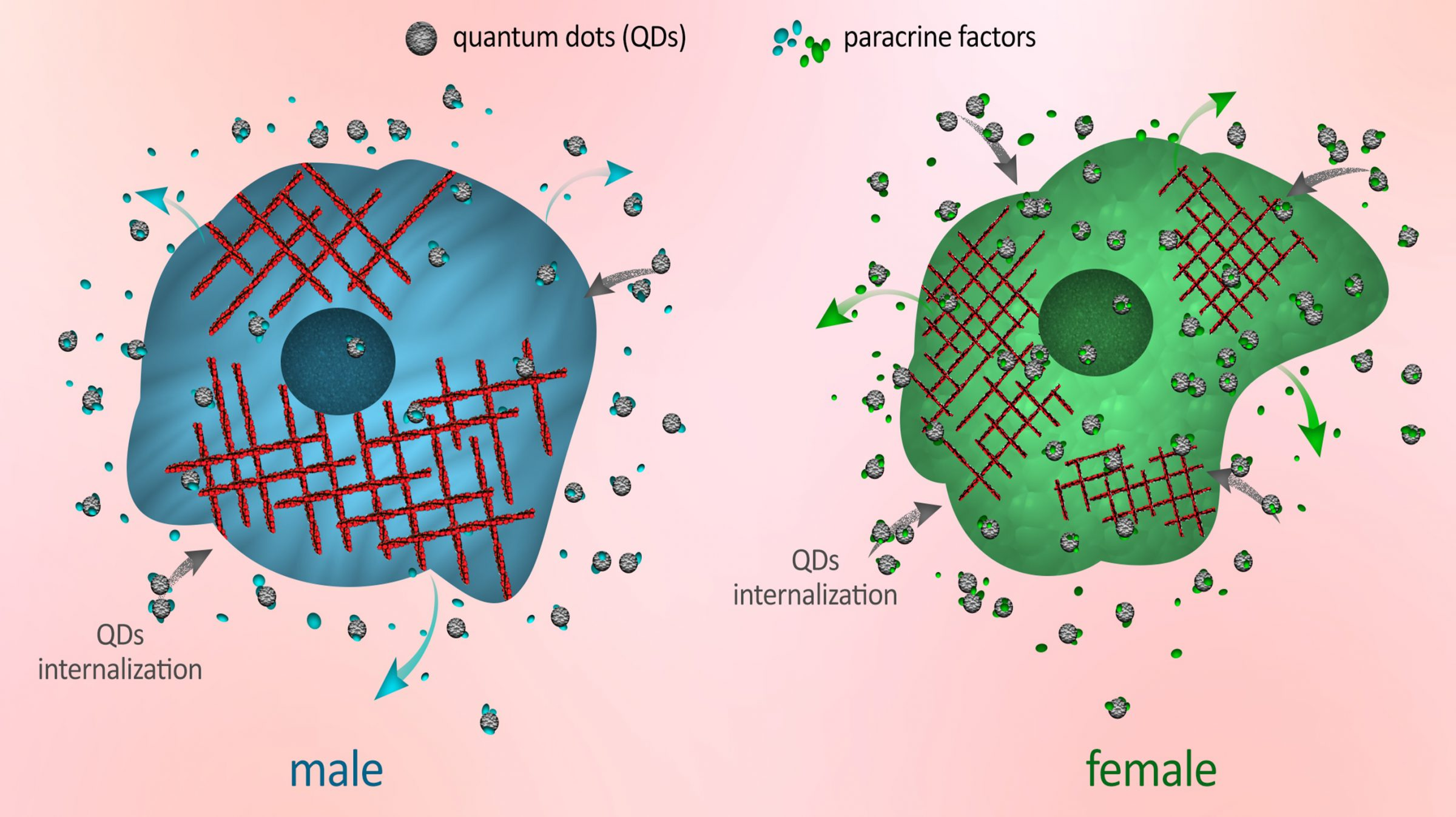Graphic of quantum dots in male and female cells
